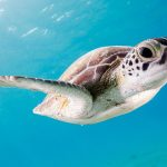 Swim and Snorkel with Turtles on Grand Cayman